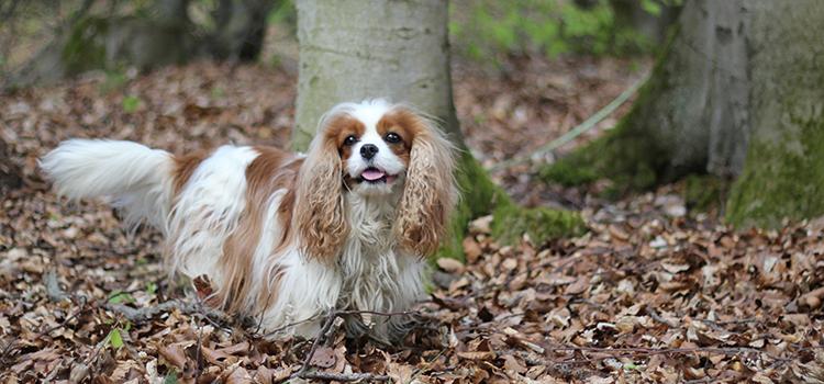Frau Schmuddelfuss ist ein Hundeblog, der hauptsächlich um die Cavalier King Charles Spaniel Dame Ivy handelt.
